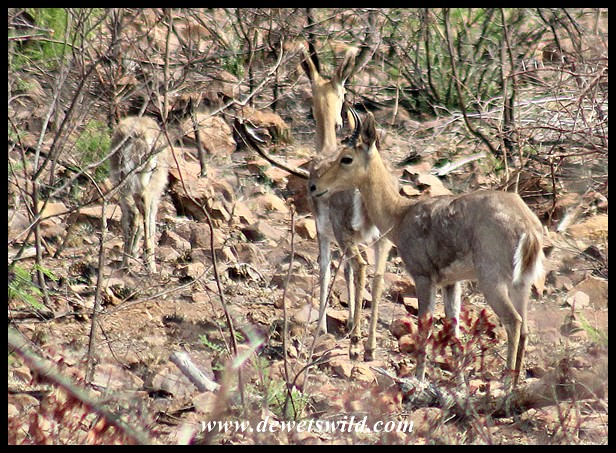Mountain Reedbuck family
