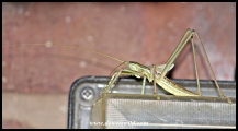 With the kind help of wildlife photographer Brian Pettit (http://www.naturepicturesworldwide.com/ & https://www.zambezicruisesafaris.com/our-blog/), this massive insect was identified as the bush cricket Clonia wahlbergii