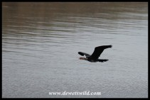 African Darter in flight
