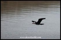 African Darter in flight