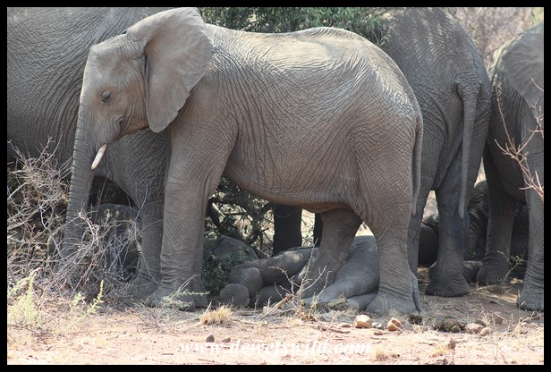 Baby elephants fast asleep in the heat while the rest of the herd stand guard