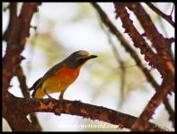 Orange-breasted Bushshrike (male)
