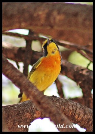 Orange-breasted Bushshrike (male)