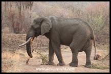 Pilanesberg's tusker Mavuso