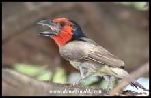 Black-collared Barbet