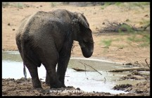 Elephant enjoying a cooling mudbath