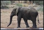 Elephant at Rathlogo