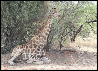 Giraffe enjoying the shade