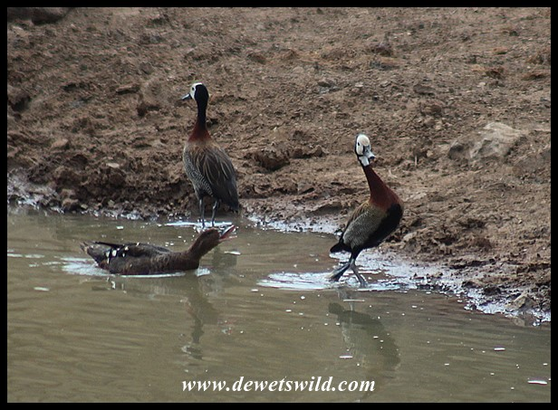 White-faced Whistling Duck being chased by an African Black Duck