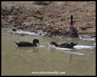 African Black Duck enquiring whether his lady was suitably impressed?