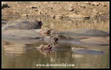Hippos at Nkakane