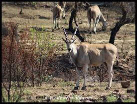 Eland on Kwalata Drive