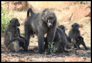Baboons relaxing in the shade