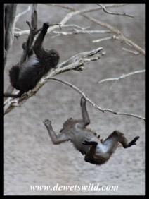 Baboons having fun at Lengau Dam