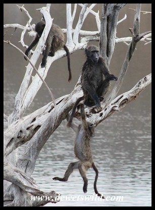 Baboons having fun at Lengau Dam