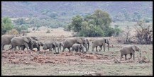 Big Elephant herd at Makorwane