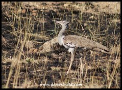 Kori Bustard searching the burnt veld for prey