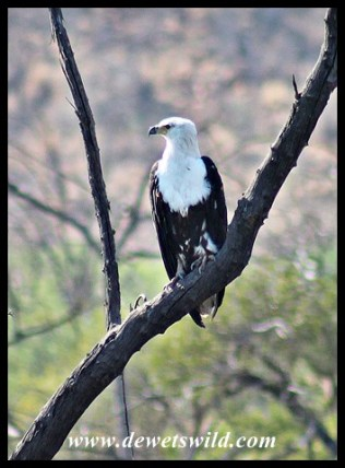 Immature Fish Eagle at Batlhako Dam