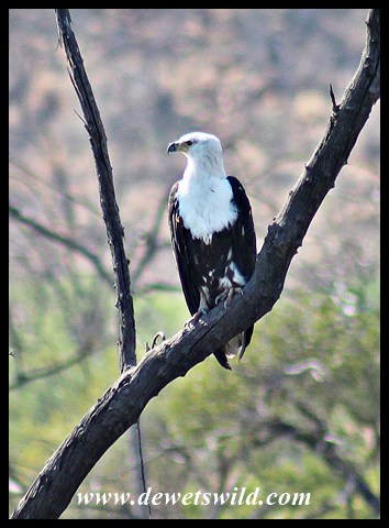 Immature Fish Eagle at Batlhako Dam