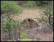 Well-hidden lion