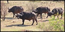 Buffalo Quartet
