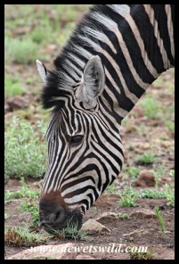Plains Zebra searching for fresh green shoots
