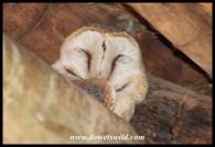 Barn Owl fast asleep at Fish Eagle Picnic Spot