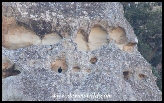 White-necked Raven at its nest high on a cliff