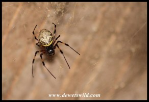 Golden Orb Web Spider female