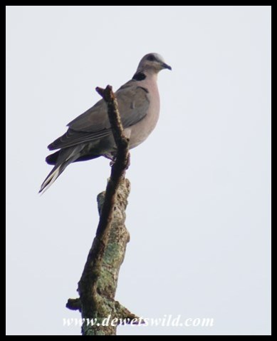 Red-eyed Dove seen along the Dlinza Forest Aerial Boardwalk