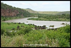 A view over the White Umfolozi River with a herd of buffalo on the banks