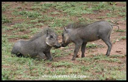 Playful warthog piglets at Mpila (photos of Joubert)