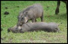 Playful warthog piglets at Mpila (photos of Joubert)