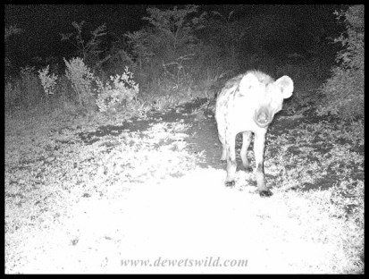 Spotted Hyenas roaming outside Mpila Cottage 16 in December 2018