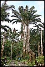 Kosi Raphia Palms and Joubert