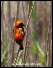 Red Bishop male