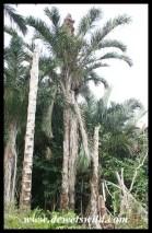 Kosi Raphia Palms