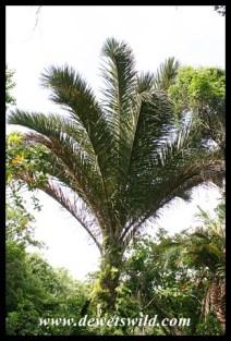 Kosi Raphia Palm