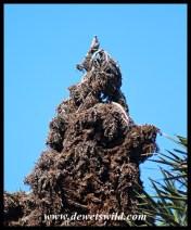 Kosi Raphia Palm inflorescence