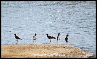 African Wattled Lapwings