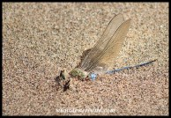 Dead dragonfly being buried by the sand on the beach at Umlalazi