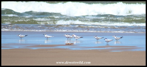 Common and Lesser Crested Terns on the beach at Umlalazi