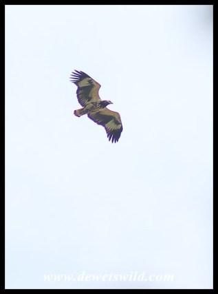 Immature Fish Eagle in flight