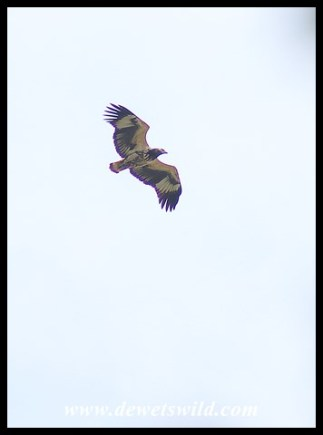 Immature Fish Eagle in flight