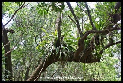 Epiphytic plant on a tree at Umlalazi