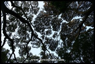 Forest canopy at Umlalazi