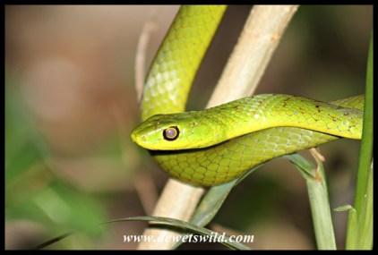 Eastern Natal Green Snake