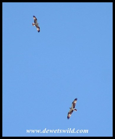 Ospreys flying above the mouth of the Mlalazi
