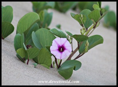 Beautiful flowering plant growing on a beach dune at Umlalazi