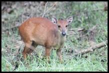 Red Duiker ewe
